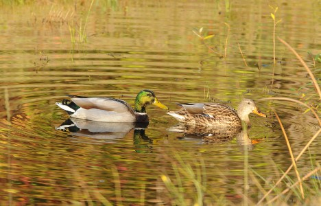 Mallards near the Almira parking lot